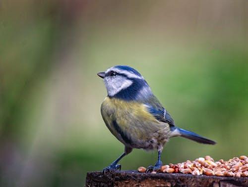 Free stock photo of bluetitbirdtreeseedswildlife
