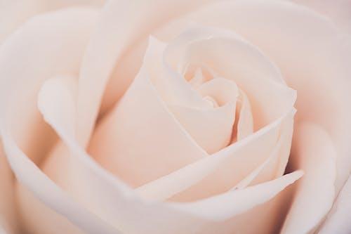 Elegant pastel rose with gentle petals in daylight