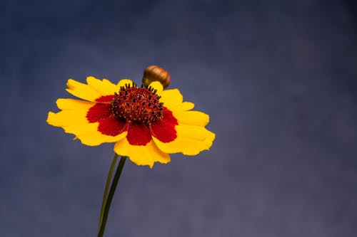 Blooming Coreopsis tinctoria flower with thin petals