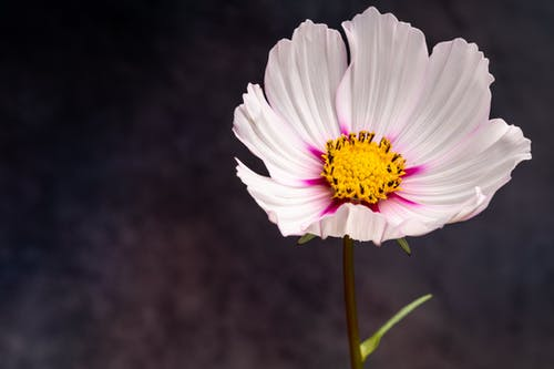 From above of tender garden cosmos flower with thin textured white petals and yellow pestle against blurred background