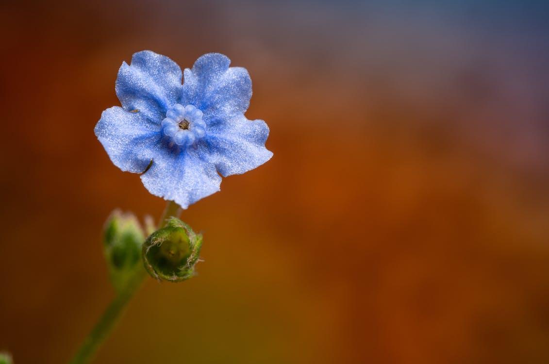 Tender blue Cynoglossum amabile flower in daytime