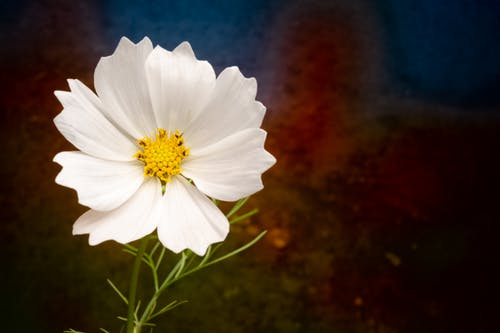 Tender white Cosmos bipinnatus flower with textured petals and thin green stem growing in garden in daylight
