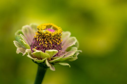 Closeup of delicate blooming common zinnia flower with tender petals and textured pestle growing in green garden
