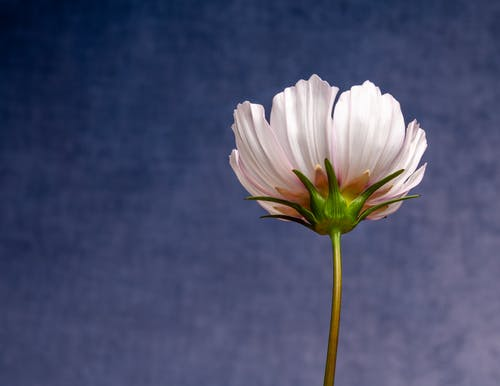 Tender Cosmos bipinnatus flower with thin stem against blue sky