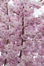 flowers, tree, pink