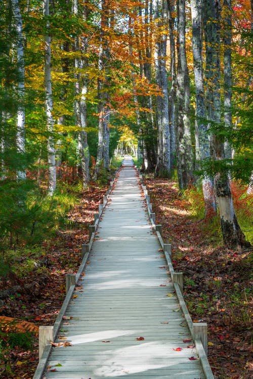 Empty narrow boardwalk amidst tall trees with colorful leaves in forest on sunny autumn day