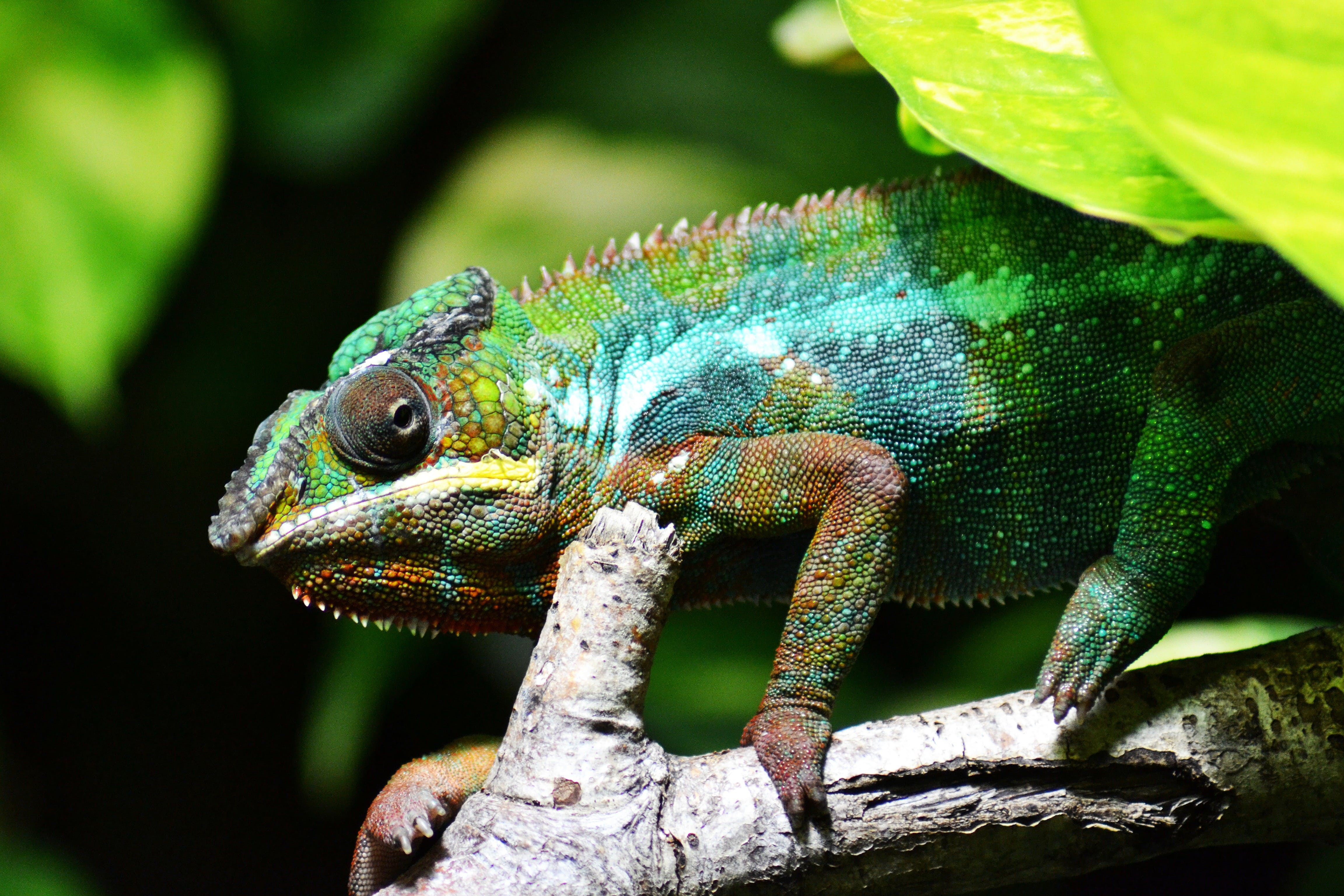 Chameleon on Brown Tree Branch in Close Up Photo