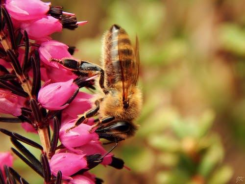 Безкоштовне стокове фото на тему «Бджола, великий план, запилення, квіти»
