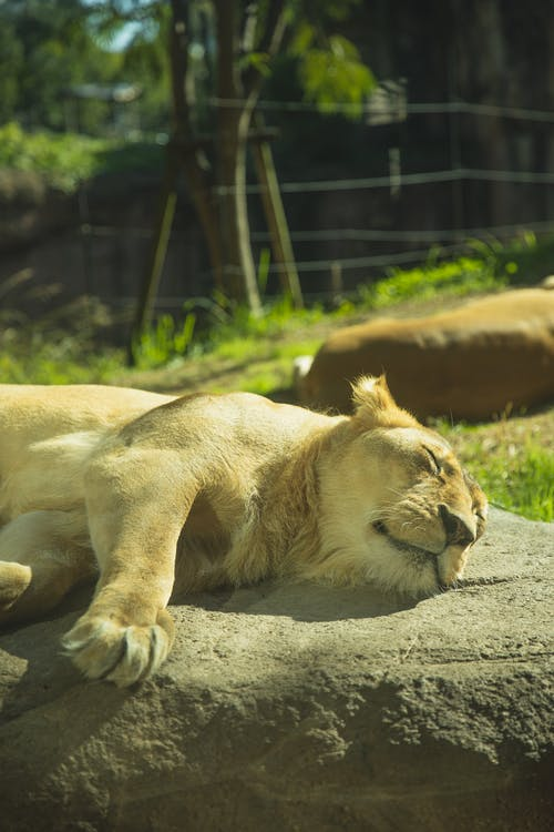 Lioness sleeping on stone in zoological garden