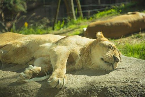Güneşli Savanda Taş üzerinde Uyuyan Sakin Dişi Aslan