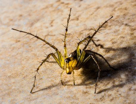 Black and Yellow Arachnia