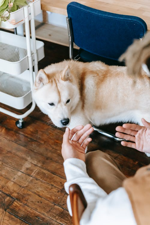 From above of crop faceless male owner sitting on chair and calling cute Akita dog while spending time together at home