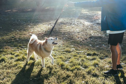 Faceless young guy training purebred dog on lawn in park