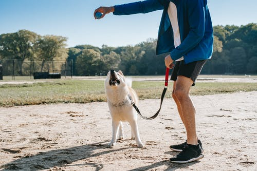 Faceless owner playing ball with purebred dog in park