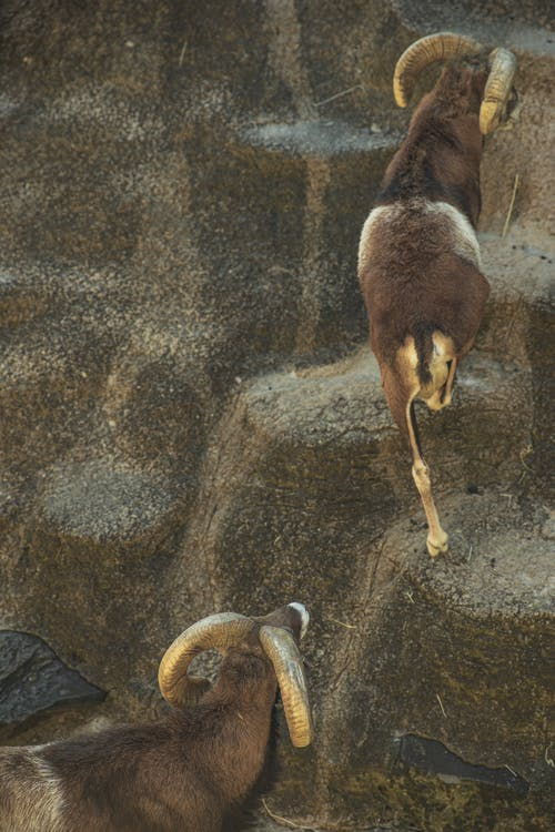 Brown ibex goats climbing on stony hill