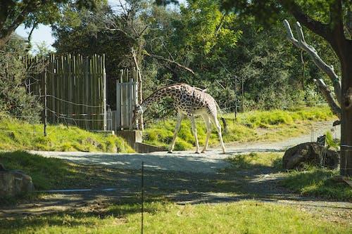Girafe Marchant Dans Le Sanctuaire Et Pinçant L'herbe Luxuriante