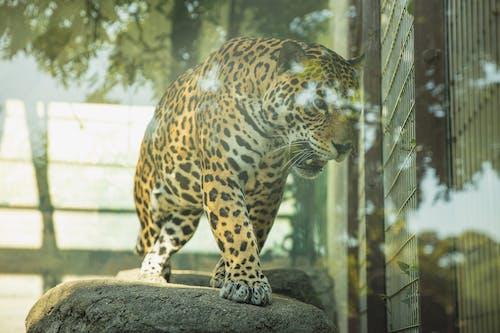 Dangerous leopard roaring in glass enclosure