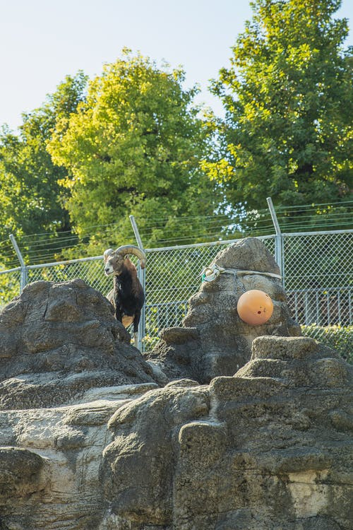 Cute ibex standing on rocky hilltop in zoo