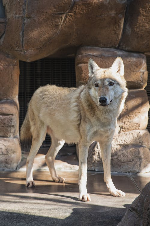 Wolf standing on stone ground in zoo