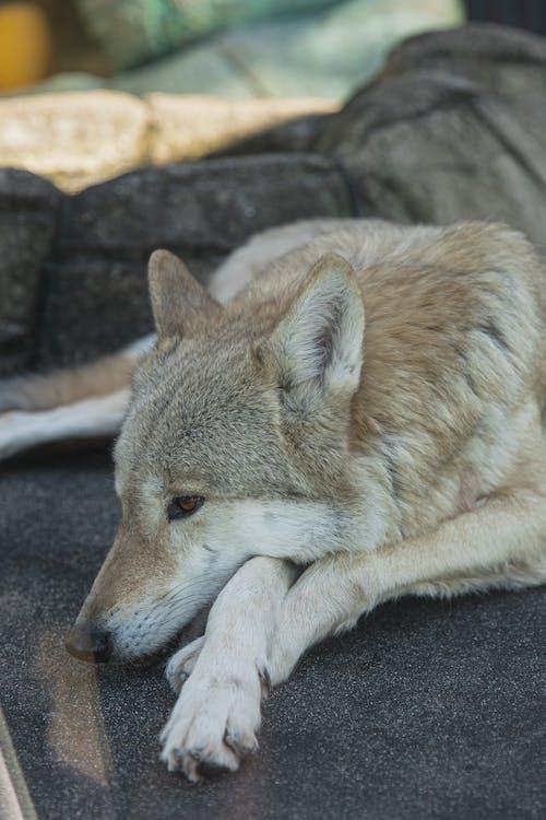 Imagine de stoc gratuită din amenințat cu dispariția, animal, animale sălbatice