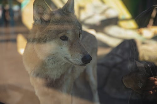 Gray wolf standing in glass enclosure in zoo