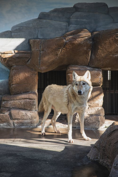 Gray wolf standing in zoo enclosure