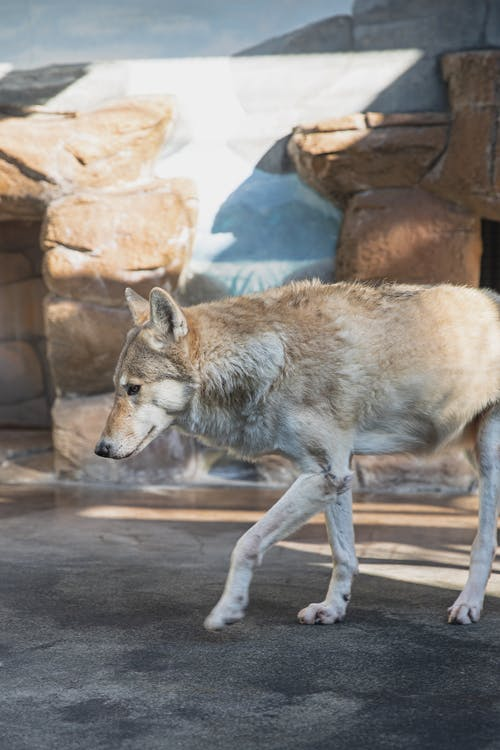 Wolf walking on stony ground in zoological garden