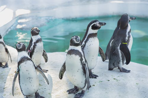 Colony of wild cute penguins gathering on snowy shore near cold seawater in daylight in sanctuary or natural habitat