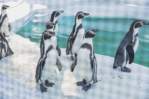 Colony of small wild penguins with black and white fur standing on snowy shore near cold clean water in sanctuary