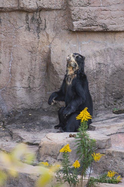 Black sun bear sitting near rock in zoo