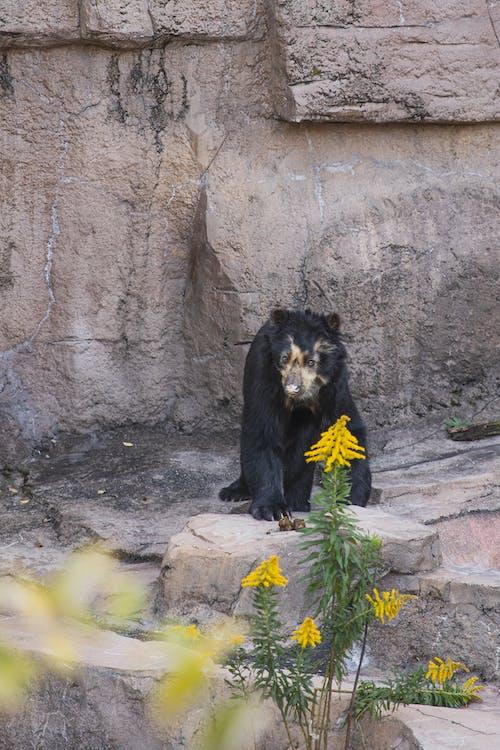 Full length calm Malayan sun bear sitting on stony ground near rock slope in national park in daylight