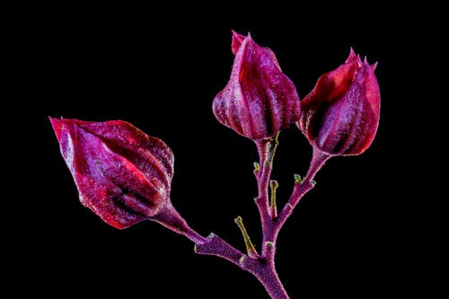 คลังภาพถ่ายฟรี ของ ดอกตูม, ดอกไม้, พืช, เบ่งบาน