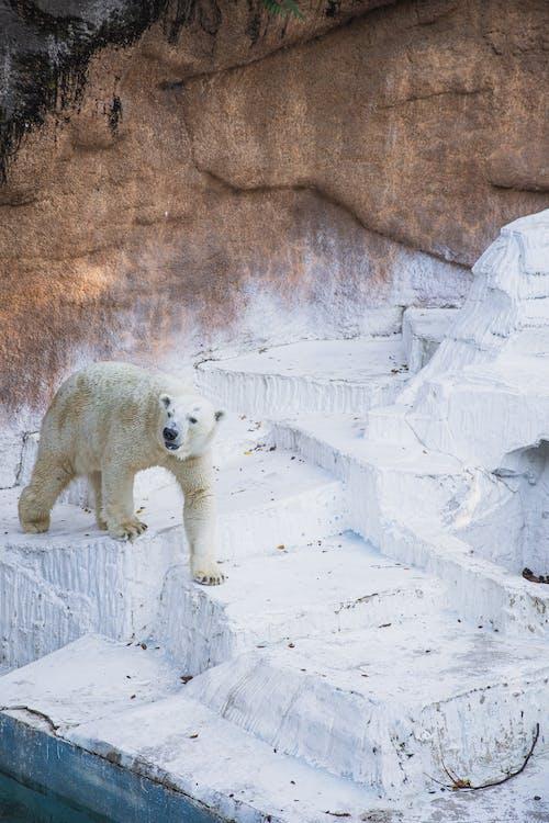 Polar bear walking on stone surface in zoo