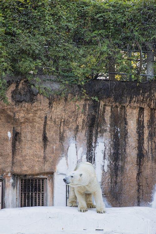 Photos gratuites de animal sauvage, habitat, ours polaire