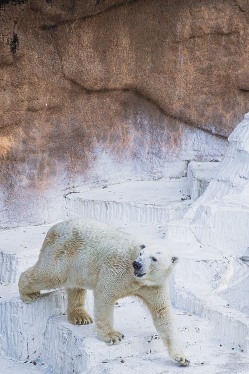 From above of polar bear with thick white fur walking on uneven surface in zoological garden and looking away