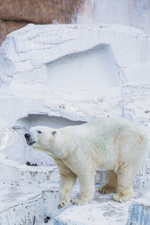 High angle of dangerous polar bear with white fur and open mouth standing in zoo