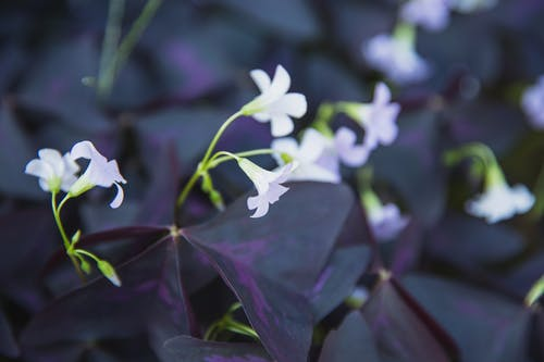 Blooming Oxalis triangularis with purple leaves
