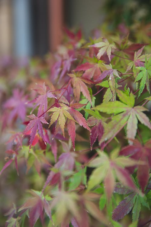 Exotic Japanese maple plant with leaves changing color from green to red and growing in garden in daytime