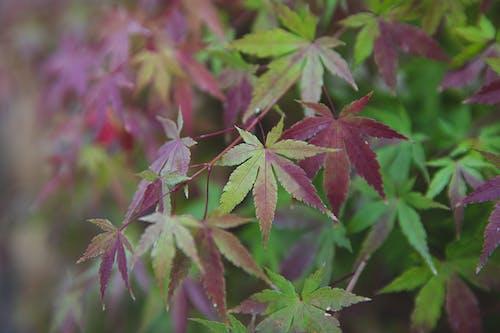 Bicolor leaves of Acer palmatum shrub growing in park