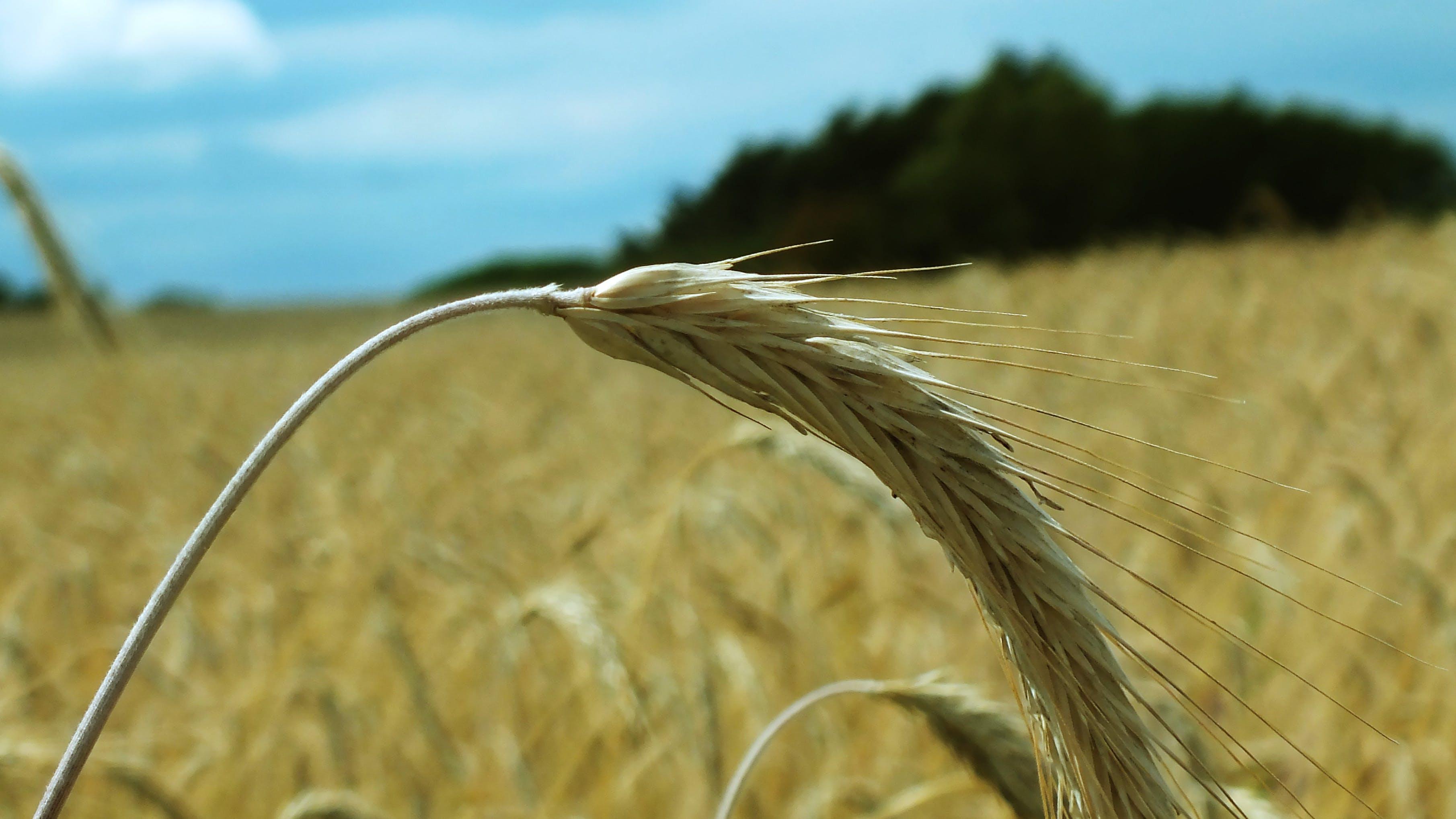 Free stock photo of nature, wheat field
