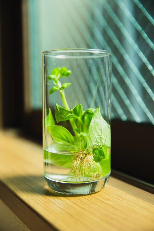 Green seedling with leaves and roots in transparent glass with water placed near window