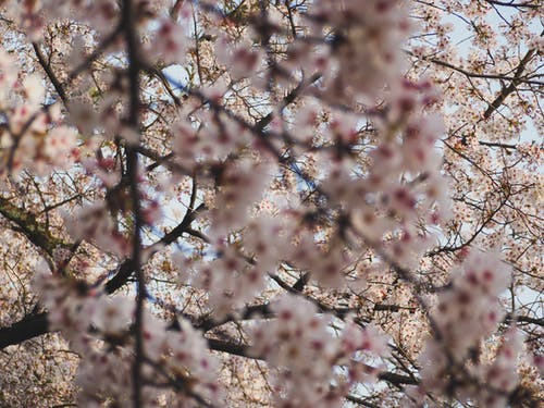 From below of blooming sakura tree with gentle pink flowers growing in park against cloudless blue sky on sunny spring day