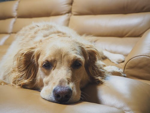 Adorable sleepy Golden Retriever dog lying on comfortable leather couch and looking at camera