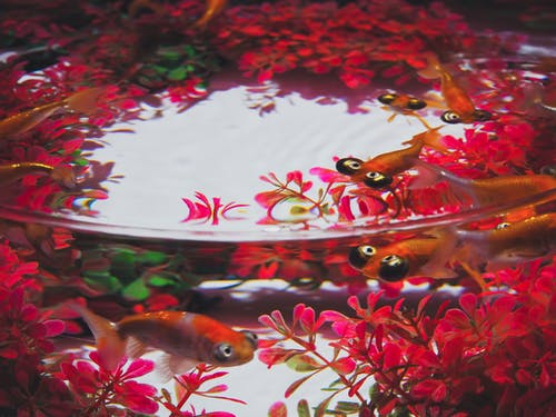 Exotic goldfish swimming in aquarium water in daylight