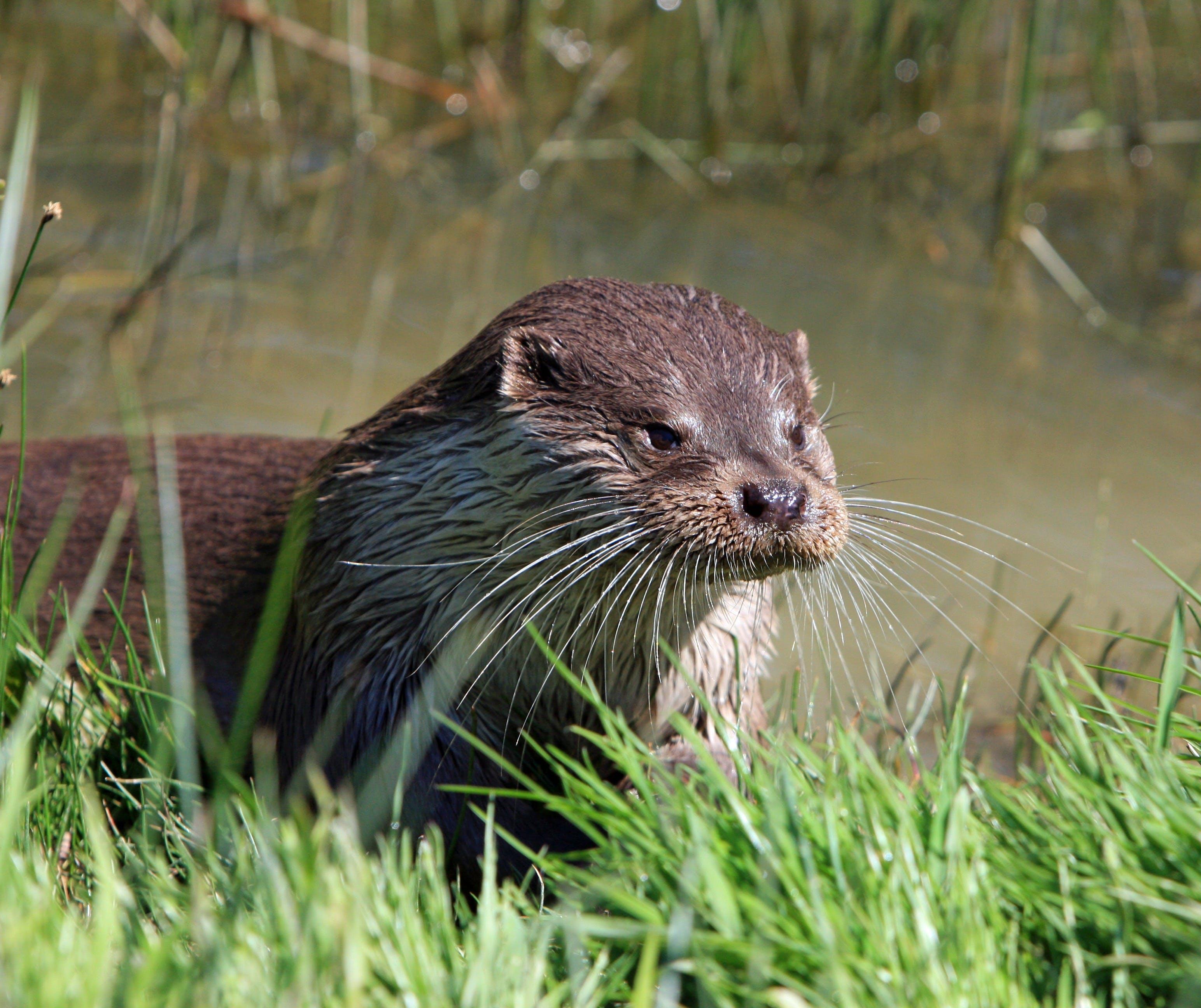Brown Otter Near Green Grass