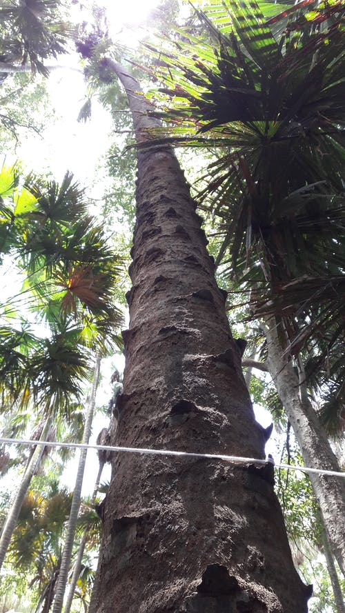 Free stock photo of Taraw palm, tree