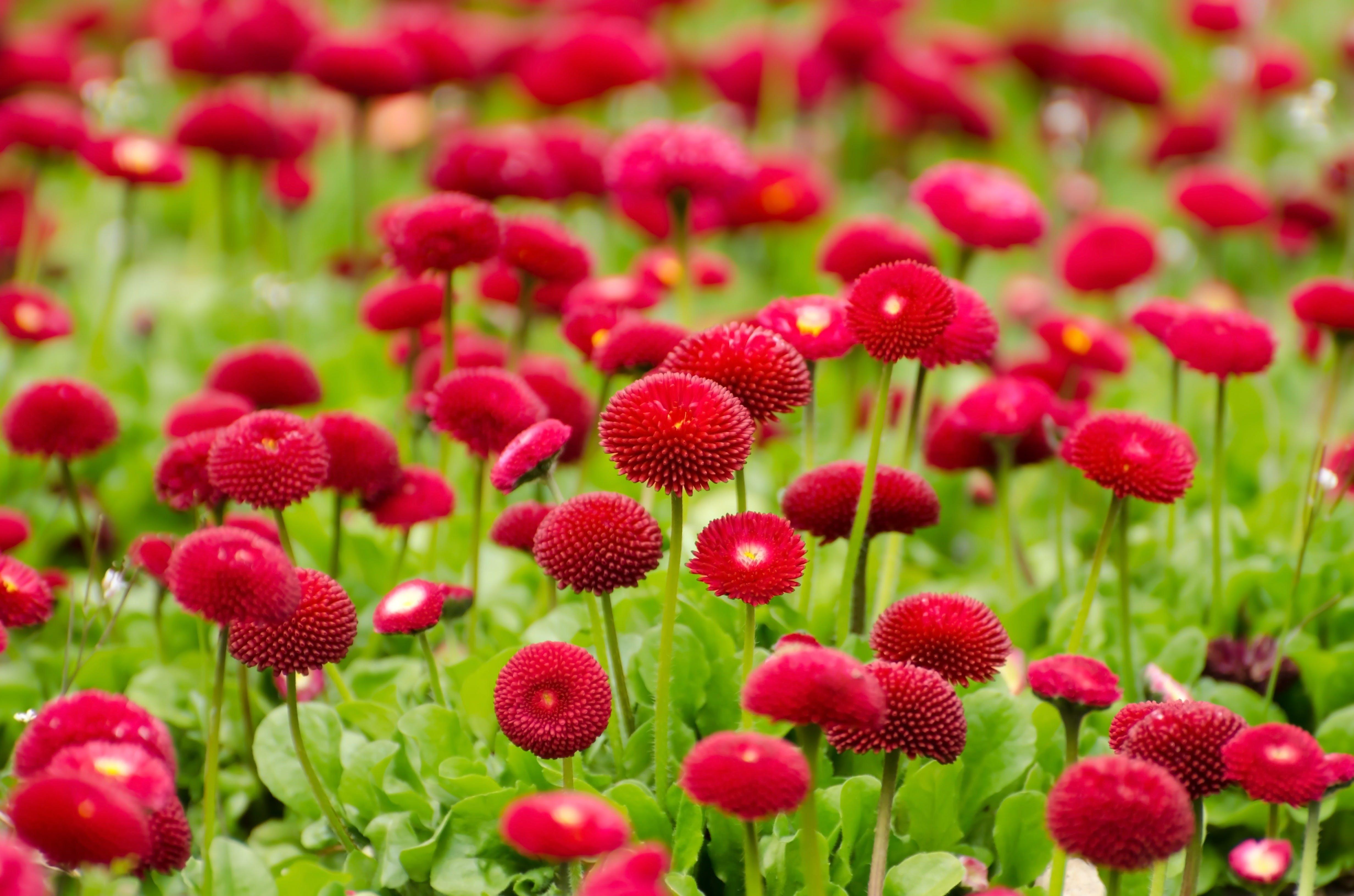 Red Petal Flowers Field