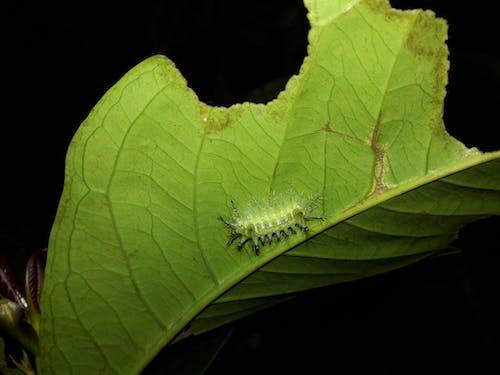Free stock photo of Poisonous Caterpillars