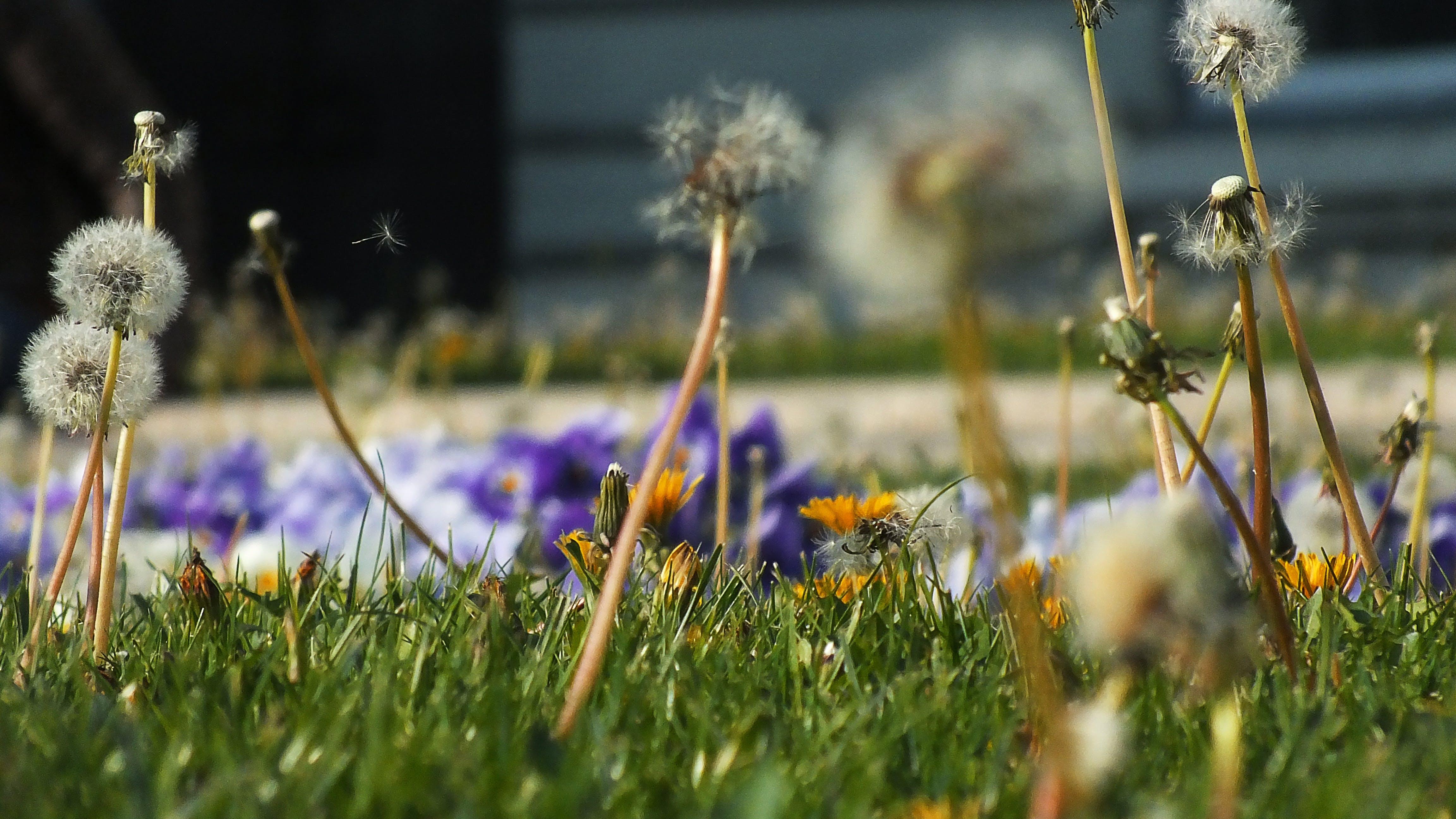 Free stock photo of dandelion, flower meadow