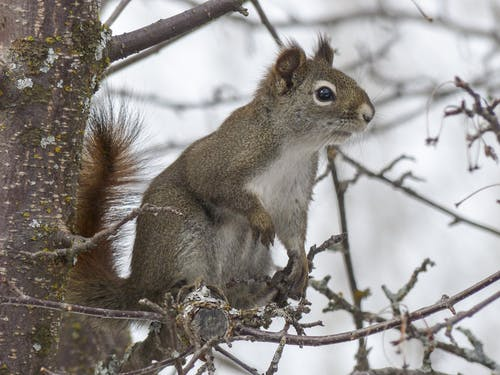 Gray and White Squirell on Brown Tree Branch